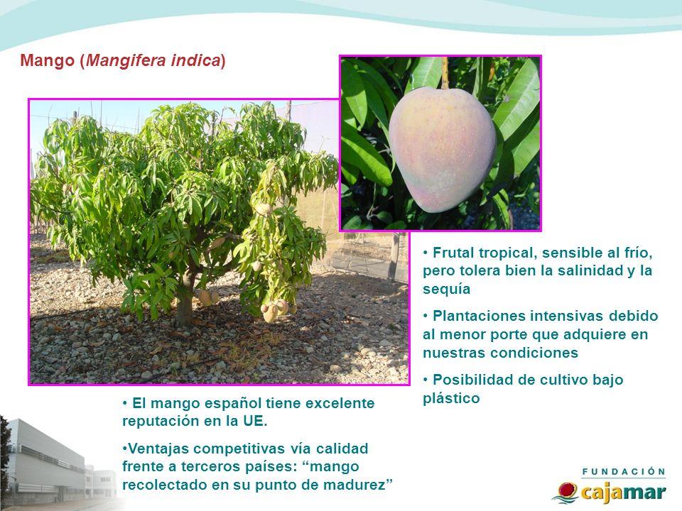 Mango (Mangifera indica) Frutal tropical, sensible al frío, pero tolera bien la salinidad y la sequía Plantaciones intensivas debido al menor porte qu