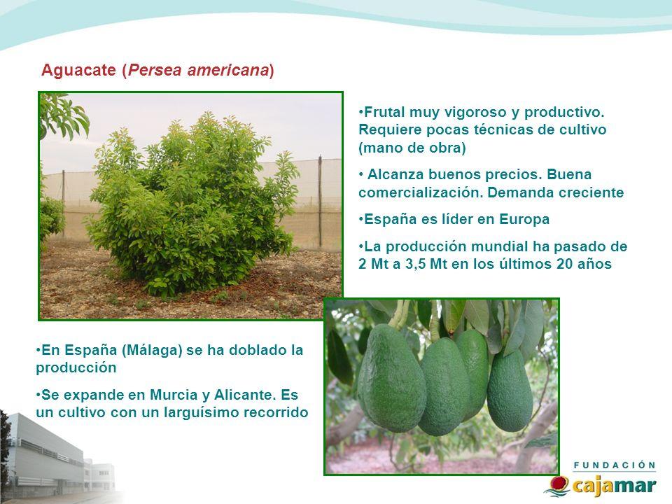 Aguacate (Persea americana) Frutal muy vigoroso y productivo. Requiere pocas técnicas de cultivo (mano de obra) Alcanza buenos precios. Buena comercia