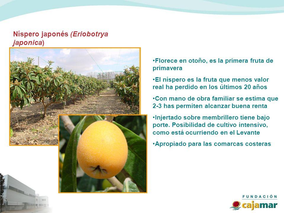 Florece en otoño, es la primera fruta de primavera El níspero es la fruta que menos valor real ha perdido en los últimos 20 años Con mano de obra fami