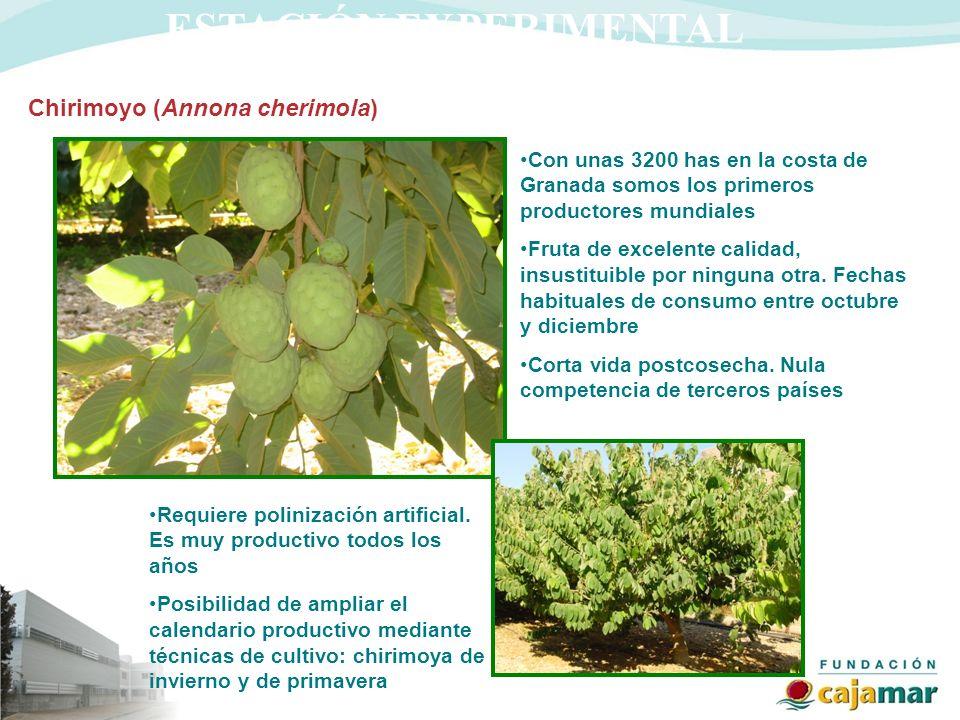 ESTACIÓN EXPERIMENTAL Chirimoyo (Annona cherimola) Con unas 3200 has en la costa de Granada somos los primeros productores mundiales Fruta de excelent