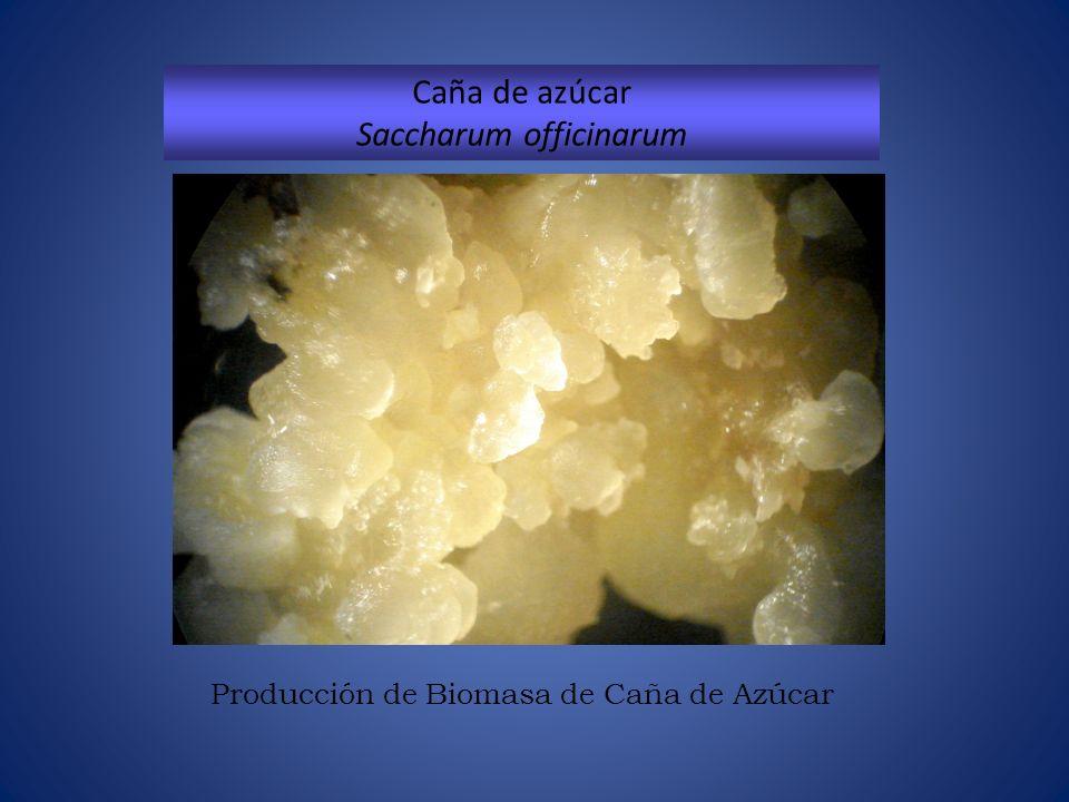 Producción de Biomasa de Caña de Azúcar Caña de azúcar Saccharum officinarum