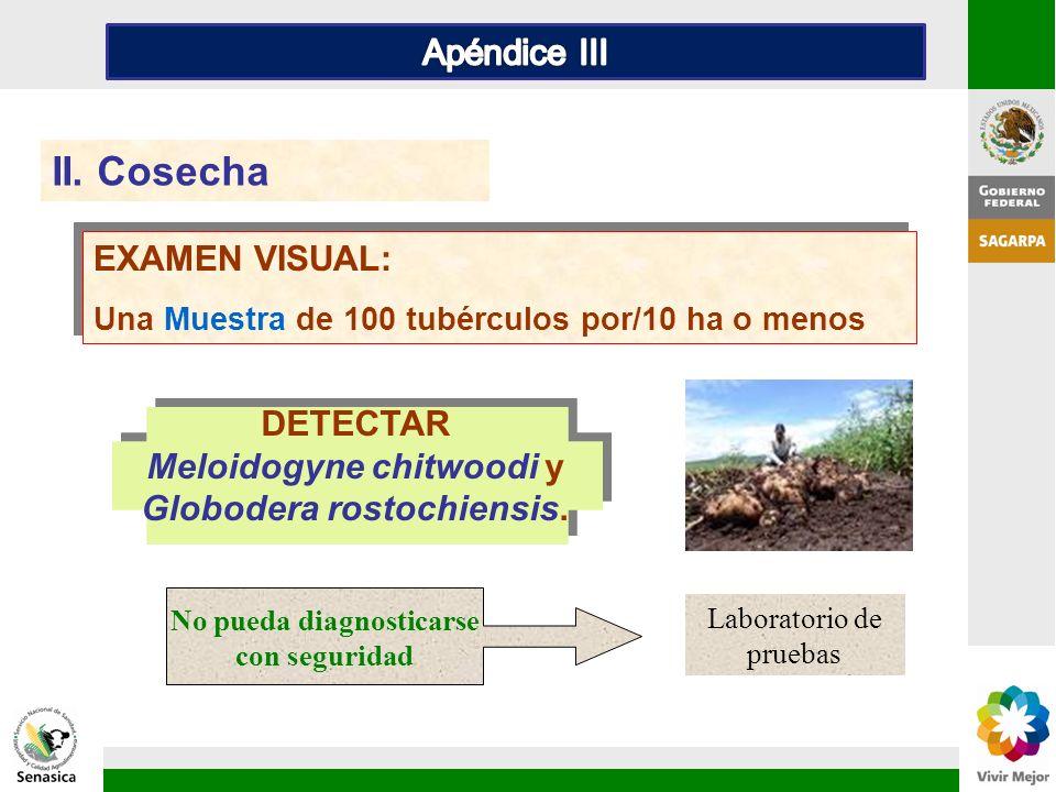 DETECTAR Meloidogyne chitwoodi y Globodera rostochiensis. II. Cosecha EXAMEN VISUAL: Una Muestra de 100 tubérculos por/10 ha o menos EXAMEN VISUAL: Un