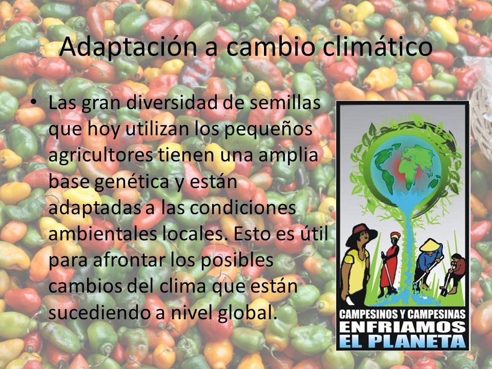 Adaptación a cambio climático Las gran diversidad de semillas que hoy utilizan los pequeños agricultores tienen una amplia base genética y están adaptadas a las condiciones ambientales locales.