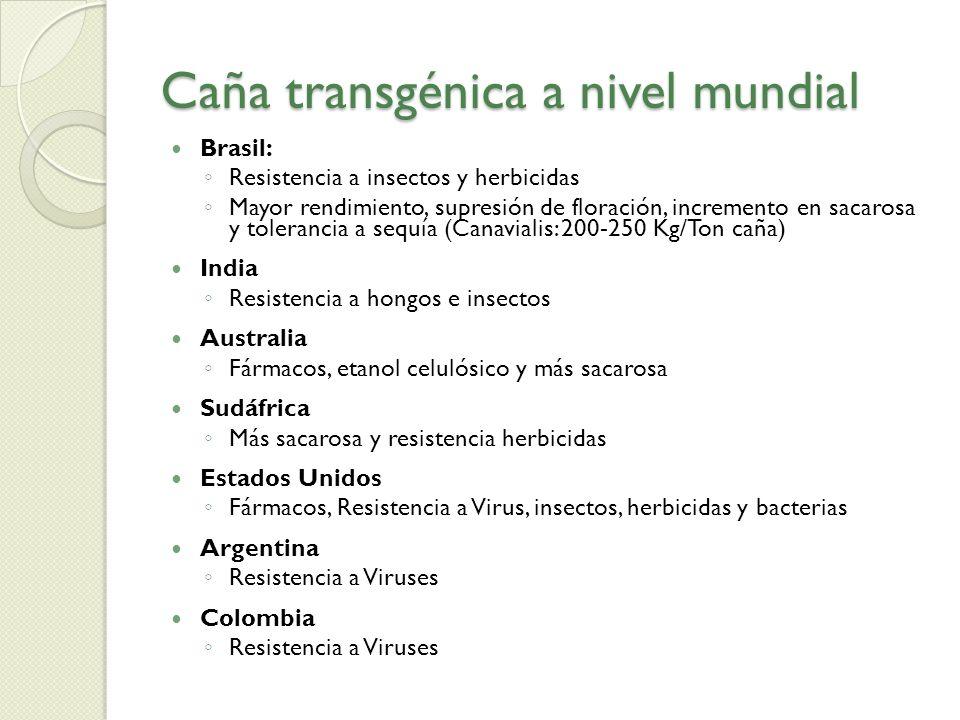 Caña transgénica a nivel mundial Brasil: Resistencia a insectos y herbicidas Mayor rendimiento, supresión de floración, incremento en sacarosa y toler
