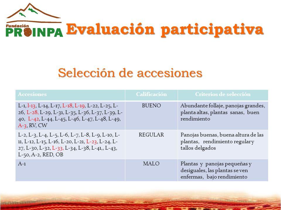 AccesionesCalificaciónCriterios de selección L-1, l-13, L-14, L-17, L-18, L-19, L-22, L-25, L- 26, L-28, L-29, L-31, L-35, L-36, L-37, L-39, L- 40, L-42, L-44, L-45, L-46, L-47, L-48, L-49, A-3, RV, CW BUENOAbundante follaje, panojas grandes, planta altas, plantas sanas, buen rendimiento L-2, L-3, L-4, L-5, L-6, L-7, L-8, L-9, L-10, L- 11, L-12, L-15, L-16, L-20, L-21, L-23, L-24, L- 27, L-30, L-32, L-33, L-34, L-38, L-41,, L-43, L-50, A-2, RED, OB REGULARPanojas buenas, buena altura de las plantas, rendimiento regular y tallos delgados A-1MALOPlantas y panojas pequeñas y desiguales, las plantas se ven enfermas, bajo rendimiento Evaluación participativa Selección de accesiones