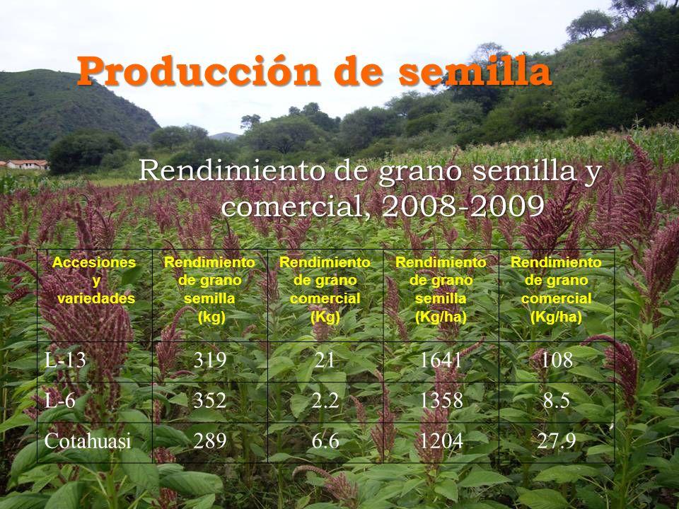 Producción de semilla Rendimiento de grano semilla y comercial, 2008-2009 Accesiones y variedades Rendimiento de grano semilla (kg) Rendimiento de grano comercial (Kg) Rendimiento de grano semilla (Kg/ha) Rendimiento de grano comercial (Kg/ha) L-13319211641108 L-63522.213588.5 Cotahuasi2896.6120427.9