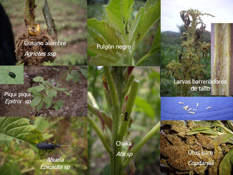 Diagnóstico de enfermedades Nombre común Nombre técnico Categoría% de daño Distribución Mal negroAlternaria spClave50 – 95Red, Azu, Pad, Sop ChusqueraMicoplasmaOcasional10 – 20Red, Azu, Pad, Sop Polvillo blancoAlbugo spClave5 – 30Pad MusuruSclerotinia spOcasional5 – 30Red, Azu, Pad, Sop Mancha negroMacrophoma spOcasional1 – 15Pad MallungaFusarium sp, Rhizoctonia sp, Phytium sp Bajo nivel0,1 – 1Pad