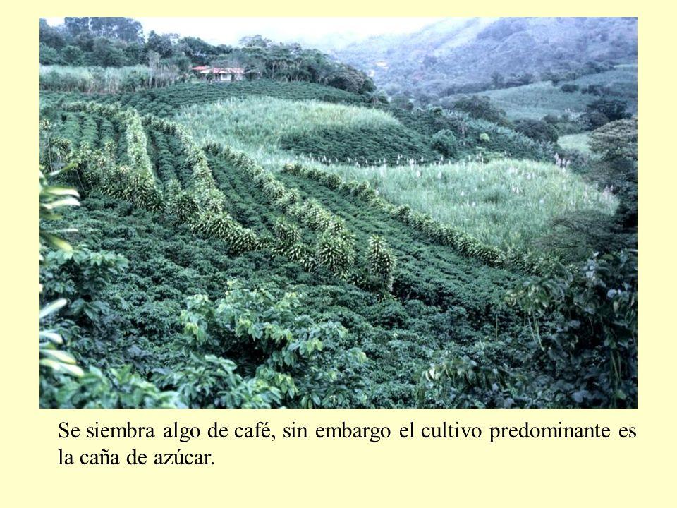 Se siembra algo de café, sin embargo el cultivo predominante es la caña de azúcar.