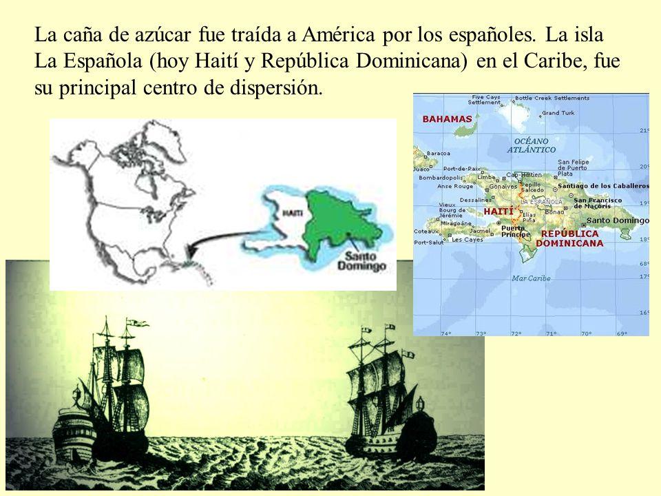 La caña de azúcar fue traída a América por los españoles.