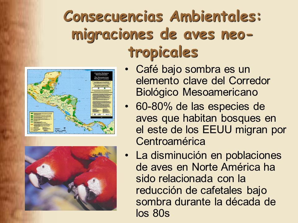 Consecuencias Ambientales: migraciones de aves neo- tropicales Café bajo sombra es un elemento clave del Corredor Biológico Mesoamericano 60-80% de las especies de aves que habitan bosques en el este de los EEUU migran por Centroamérica La disminución en poblaciones de aves en Norte América ha sido relacionada con la reducción de cafetales bajo sombra durante la década de los 80s