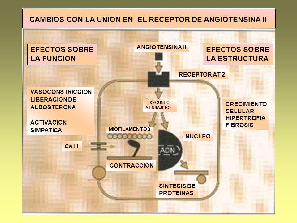 ANGIOTENSINA II RECEPTOR AT 2 NUCLEO SINTESIS DE PROTEINAS CONTRACCION CRECIMIENTO CELULAR HIPERTROFIA FIBROSIS SEGUNDO MENSAJERO MIOFILAMENTOS VASOCO