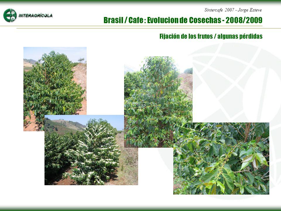 Sintercafe 2007 - Jorge Esteve Brasil / Cafe : Evolucion de Cosechas - 2008/2009 Fijación de los frutos / algunas pérdidas