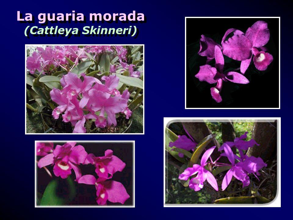 La guaria morada (Cattleya Skinneri) La guaria morada (Cattleya Skinneri)