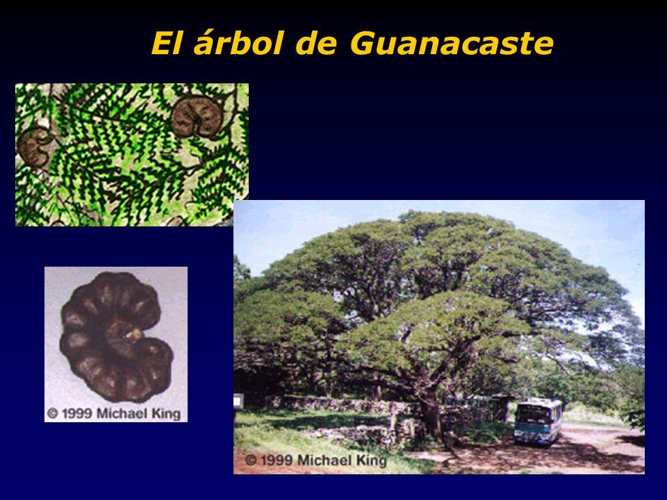 El árbol de Guanacaste