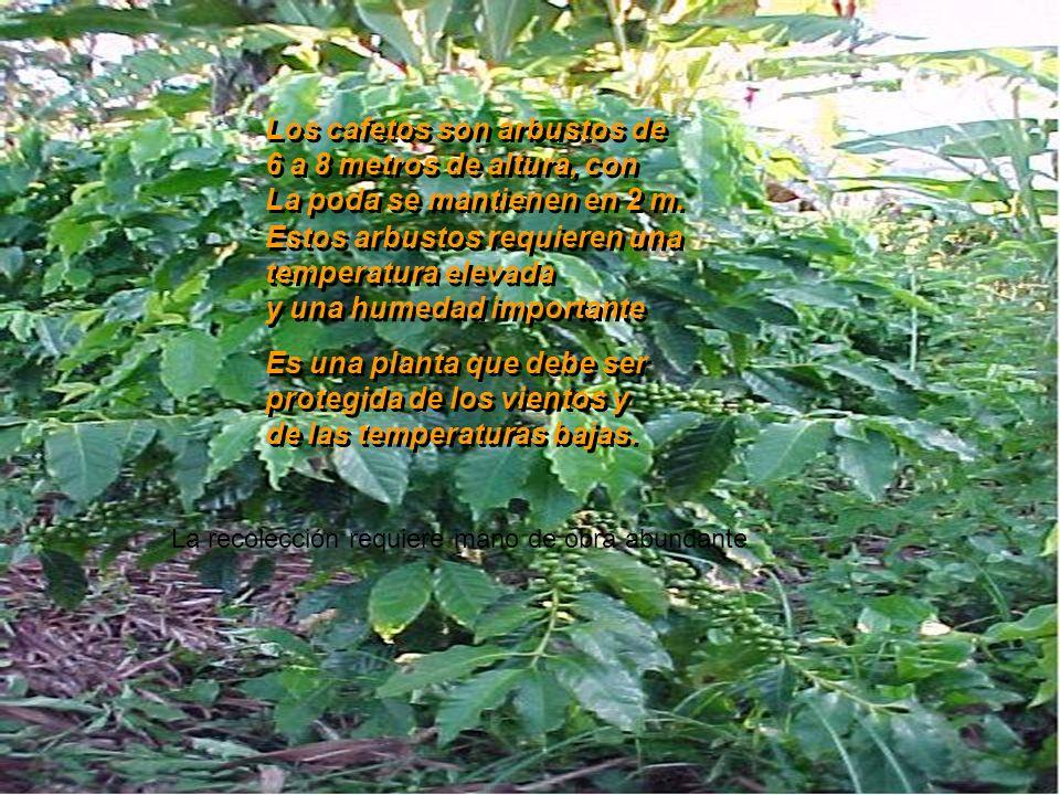 El balance perfecto de sus cualidades de buena acidez excelente aroma y cuerpo medio El balance perfecto de sus cualidades de buena acidez excelente a
