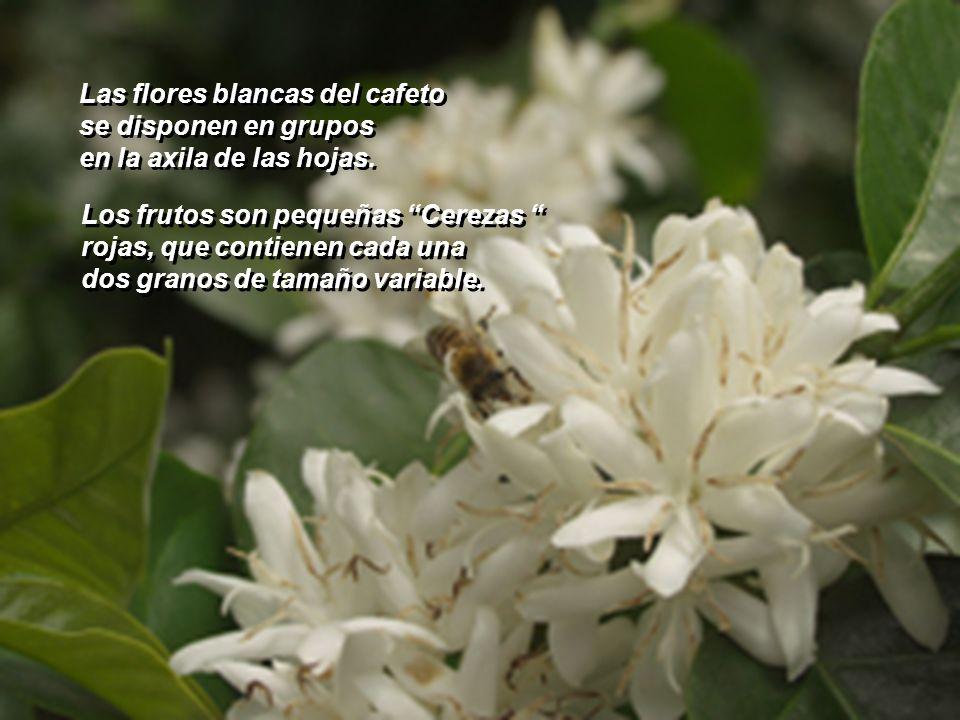 Los cafetos son arbustos de 6 a 8 metros de altura, con La poda se mantienen en 2 m. Los cafetos son arbustos de 6 a 8 metros de altura, con La poda s