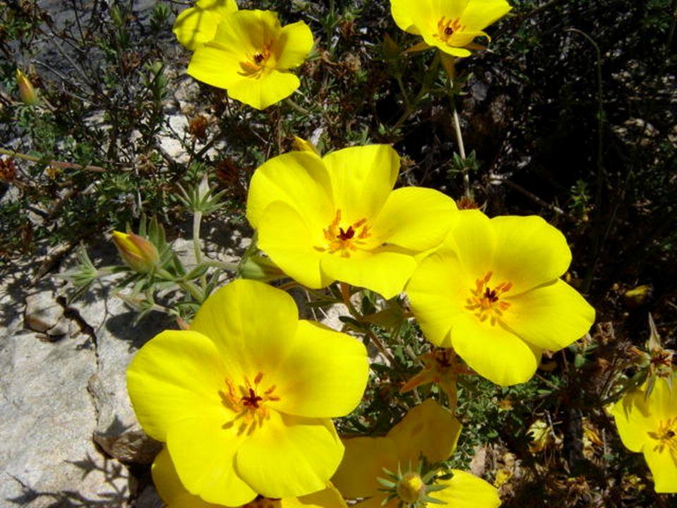 En un año lluvioso, el desierto se convierte en mar, en un mar de flores. Se atribuye este curioso acontecimiento climático al fenómeno del Niño- osci