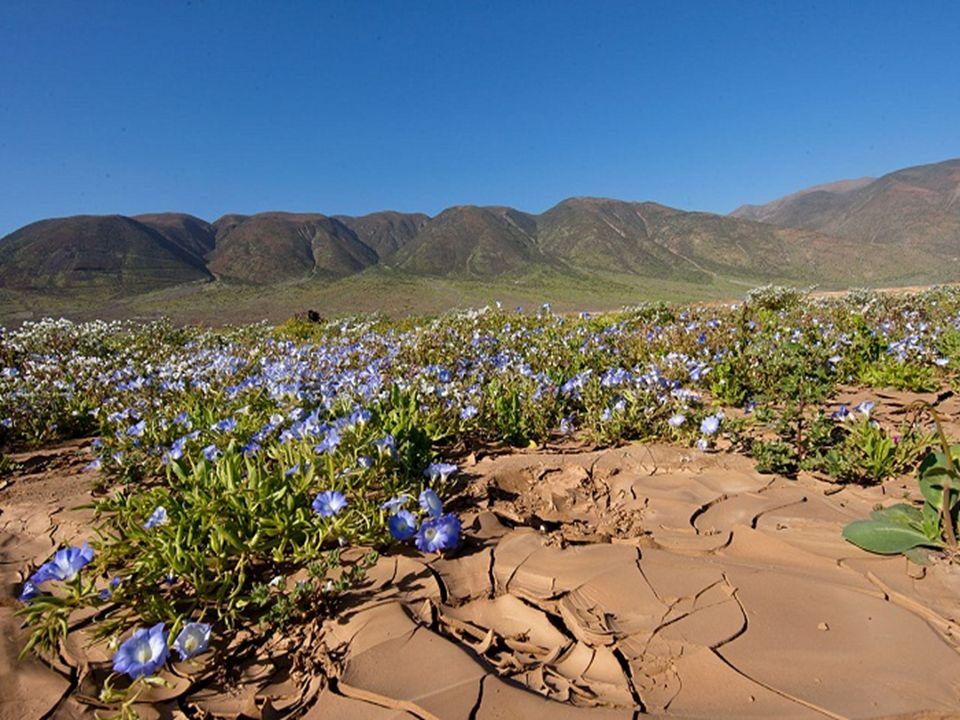 El fenómeno del desierto florido provoca un fuerte impacto sobre el sistema ecológico de la zona. Durante este evento, aumenta en forma notable la can