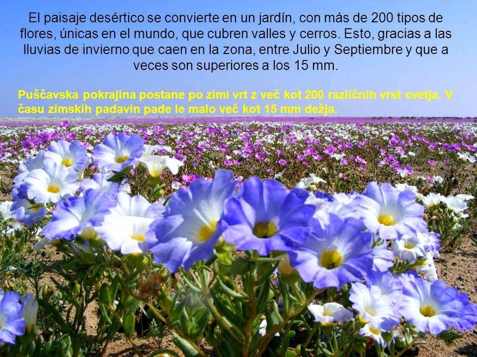 El paisaje desértico se convierte en un jardín, con más de 200 tipos de flores, únicas en el mundo, que cubren valles y cerros.