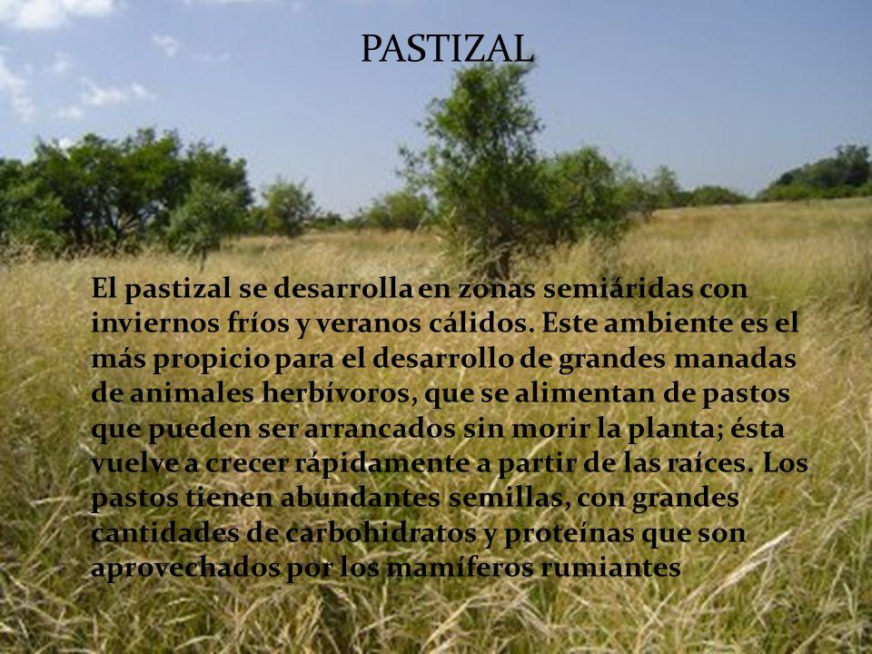 SABANA Las sabanas son biomas propios de los trópicos. Se encuentra en extensas regiones de África, Asia, Australia y América del Sur. En ellas predom
