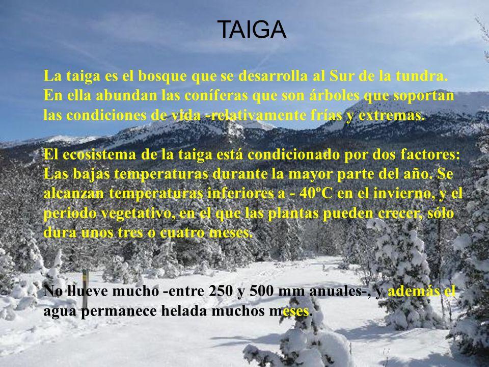 TAIGA La taiga es el bosque que se desarrolla al Sur de la tundra.