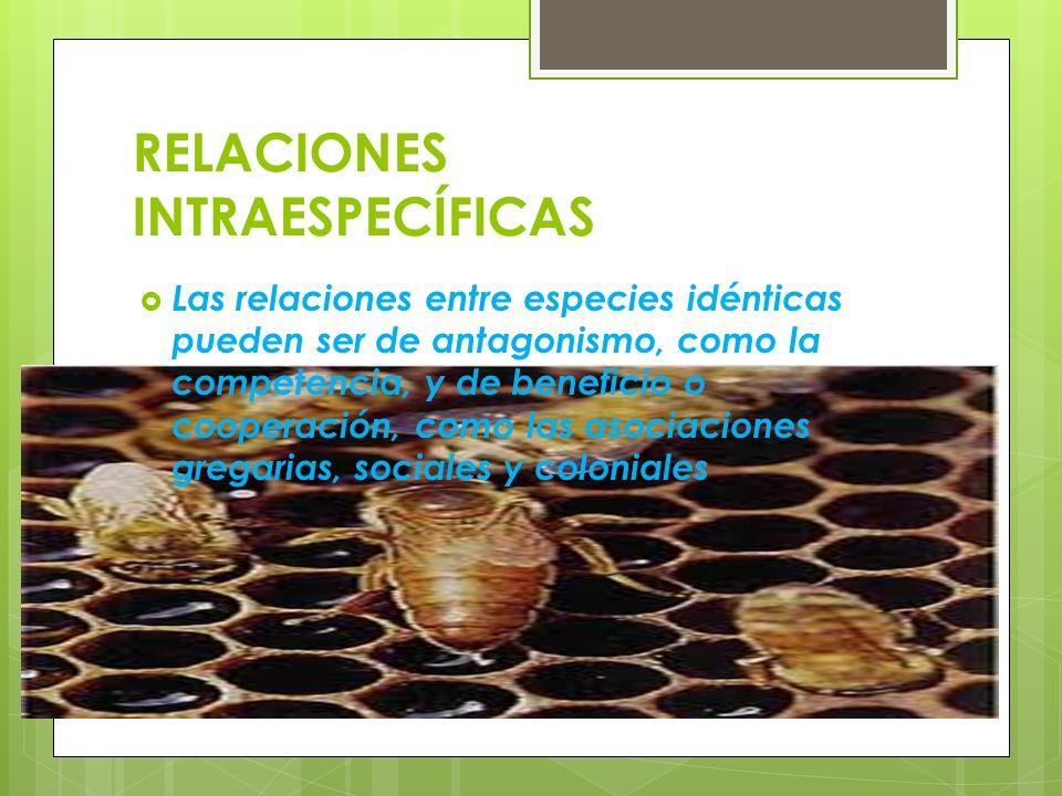 RELACIONES INTRAESPECÍFICAS Las relaciones entre especies idénticas pueden ser de antagonismo, como la competencia, y de beneficio o cooperación, como