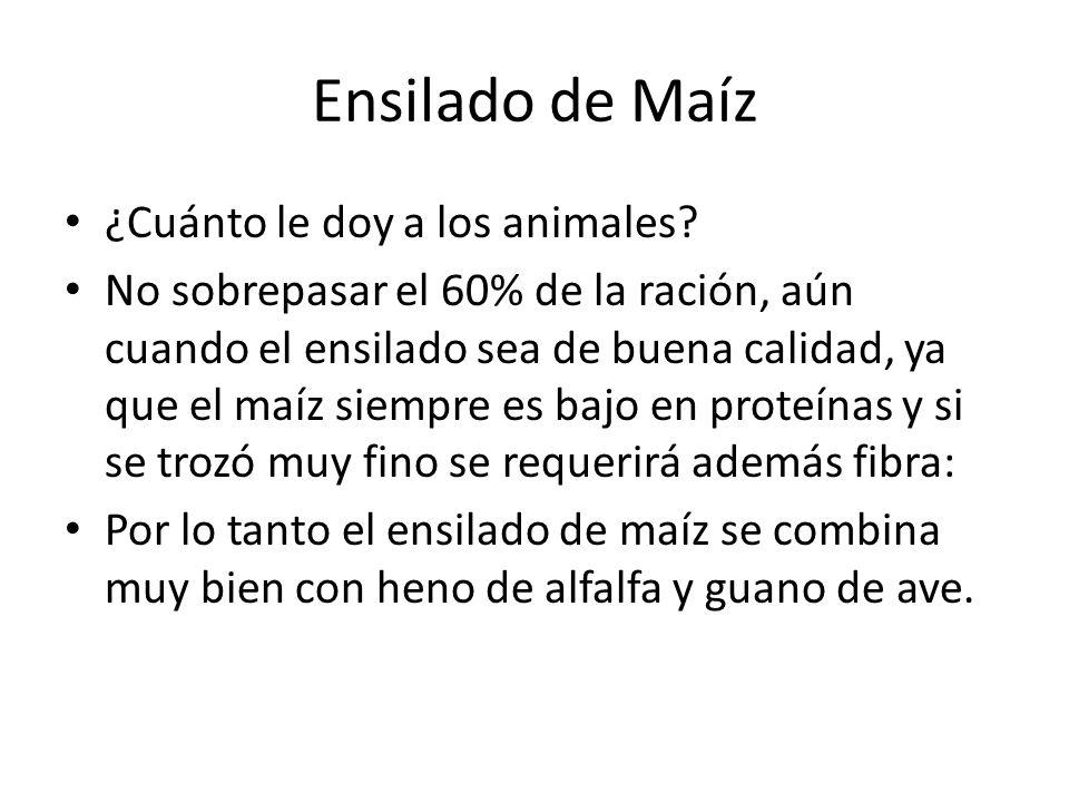 Ensilado de Maíz ¿Cuánto le doy a los animales.