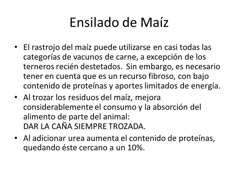 Ensilado de Maíz El rastrojo del maíz puede utilizarse en casi todas las categorías de vacunos de carne, a excepción de los terneros recién destetados.