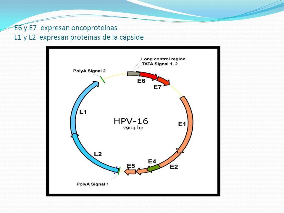 E6 y E7 expresan oncoproteínas L1 y L2 expresan proteínas de la cápside