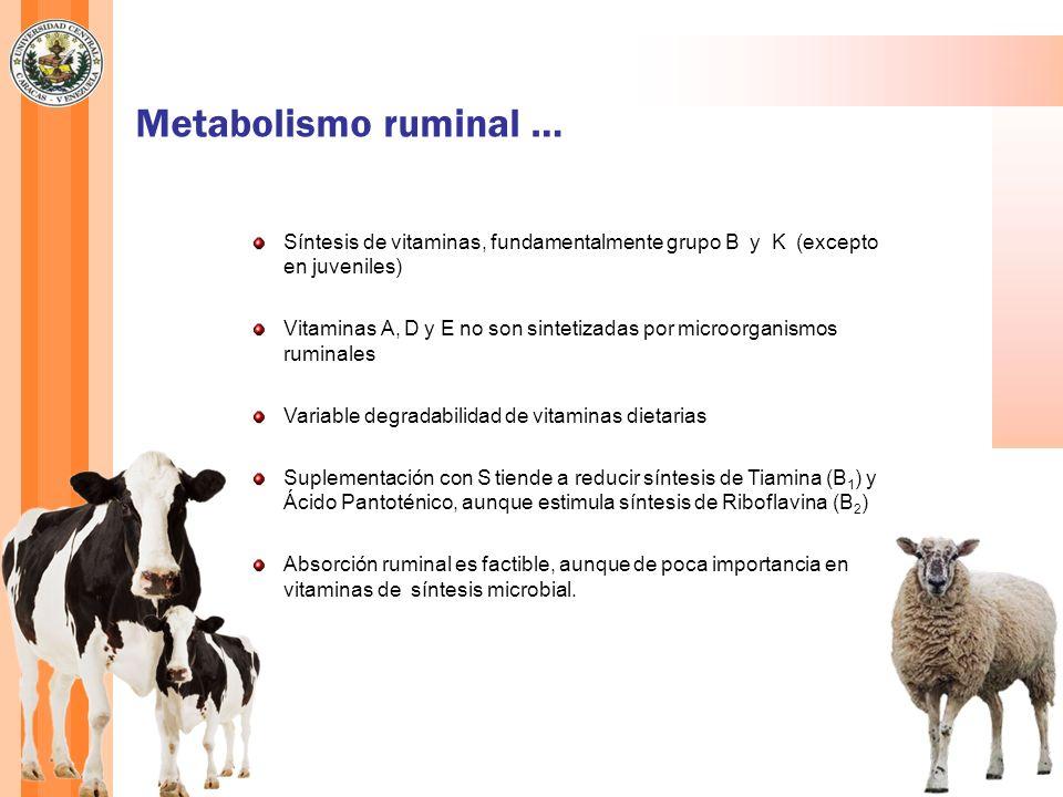 Metabolismo ruminal … Síntesis de vitaminas, fundamentalmente grupo B y K (excepto en juveniles) Vitaminas A, D y E no son sintetizadas por microorgan