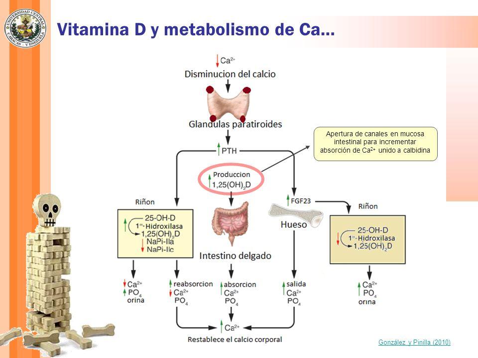 Vitamina D y metabolismo de Ca… González y Pinilla (2010) Apertura de canales en mucosa intestinal para incrementar absorción de Ca 2+ unido a calbidi
