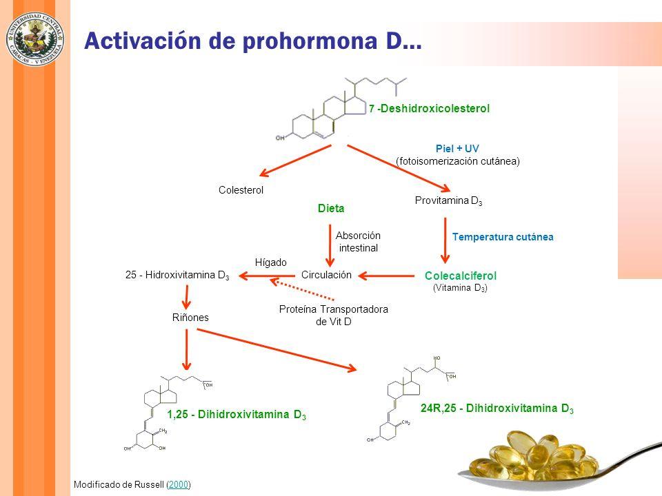 7 - Deshidroxicolesterol Colesterol Provitamina D 3 Piel + UV (fotoisomerización cutánea) Colecalciferol (Vitamina D 3 ) Temperatura cutánea Dieta Abs