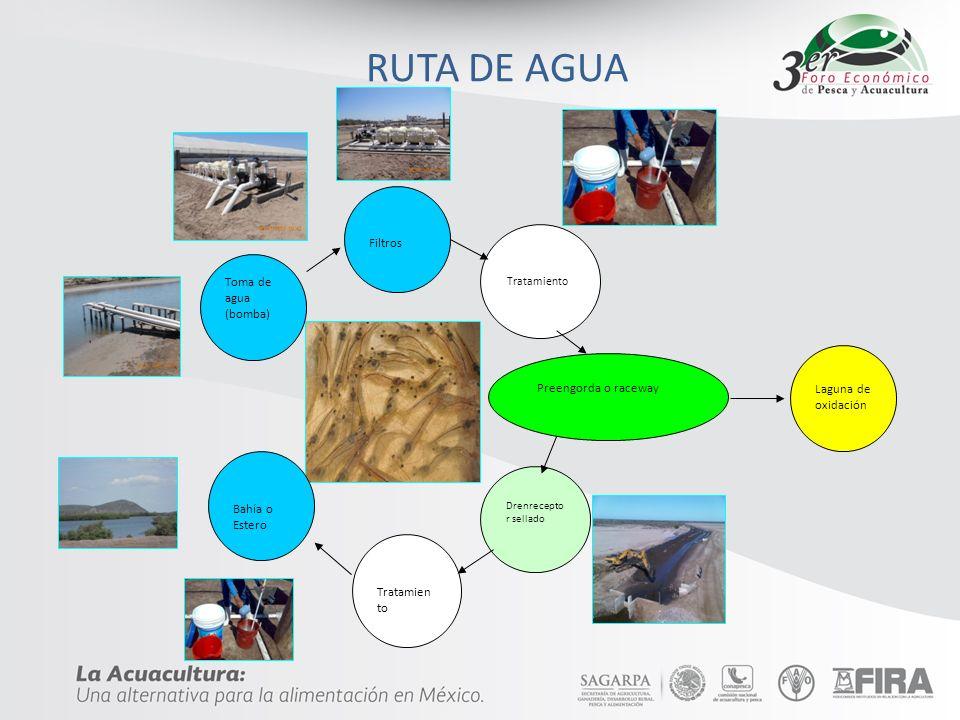 Toma de agua (bomba) Filtros Tratamiento Preengorda o raceway Drenrecepto r sellado Tratamien to Bahía o Estero Laguna de oxidación RUTA DE AGUA