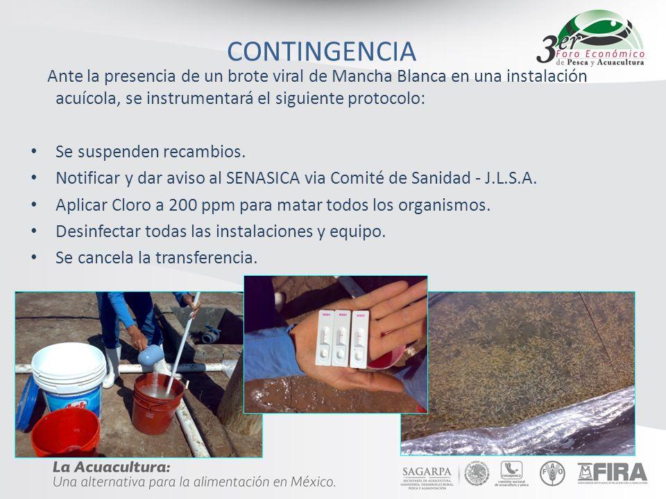CONTINGENCIA Ante la presencia de un brote viral de Mancha Blanca en una instalación acuícola, se instrumentará el siguiente protocolo: Se suspenden r