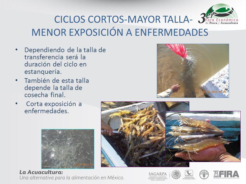 CICLOS CORTOS-MAYOR TALLA- MENOR EXPOSICIÓN A ENFERMEDADES Dependiendo de la talla de transferencia será la duración del ciclo en estanquería. También