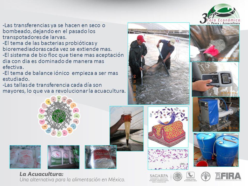 CONTINGENCIA Ante la presencia de un brote viral de Mancha Blanca en una instalación acuícola, se instrumentará el siguiente protocolo: Se suspenden recambios.