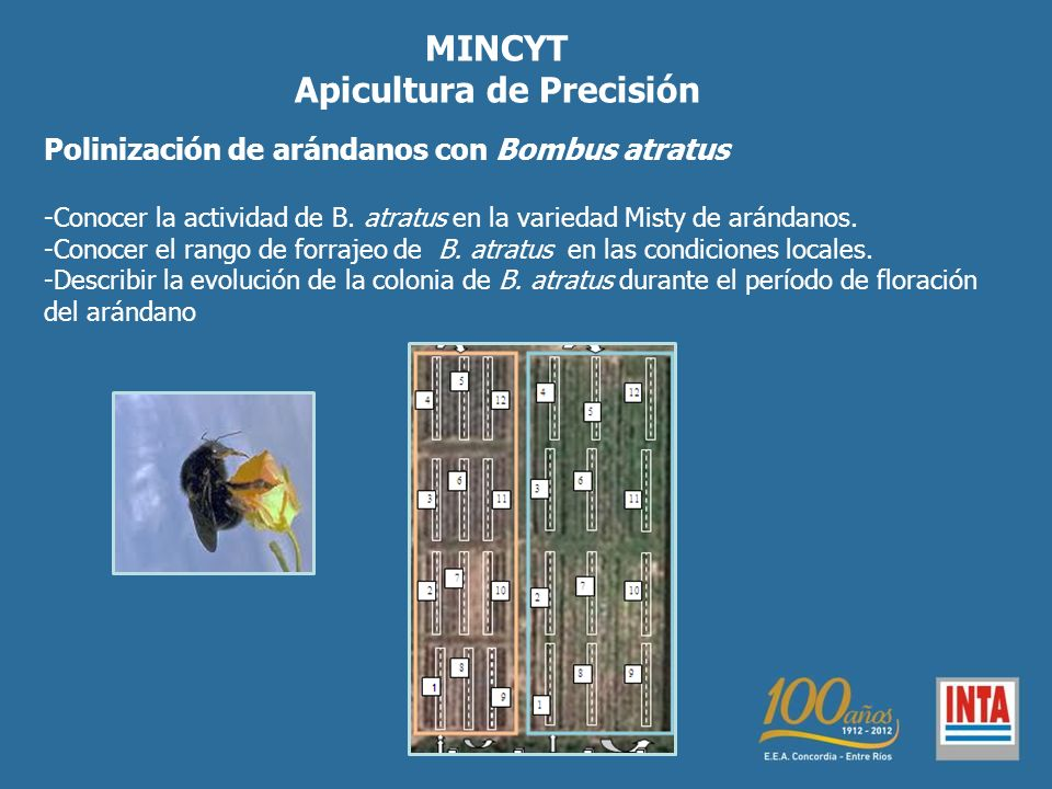MINCYT Apicultura de Precisión Polinización de arándanos con Bombus atratus -Conocer la actividad de B. atratus en la variedad Misty de arándanos. -Co