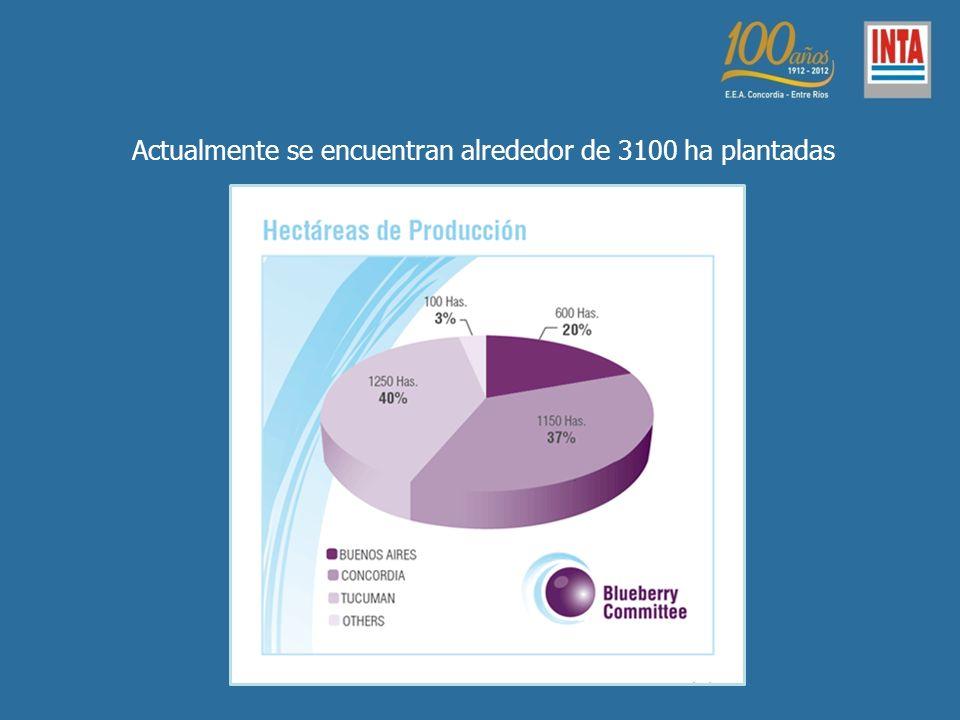 Actualmente se encuentran alrededor de 3100 ha plantadas