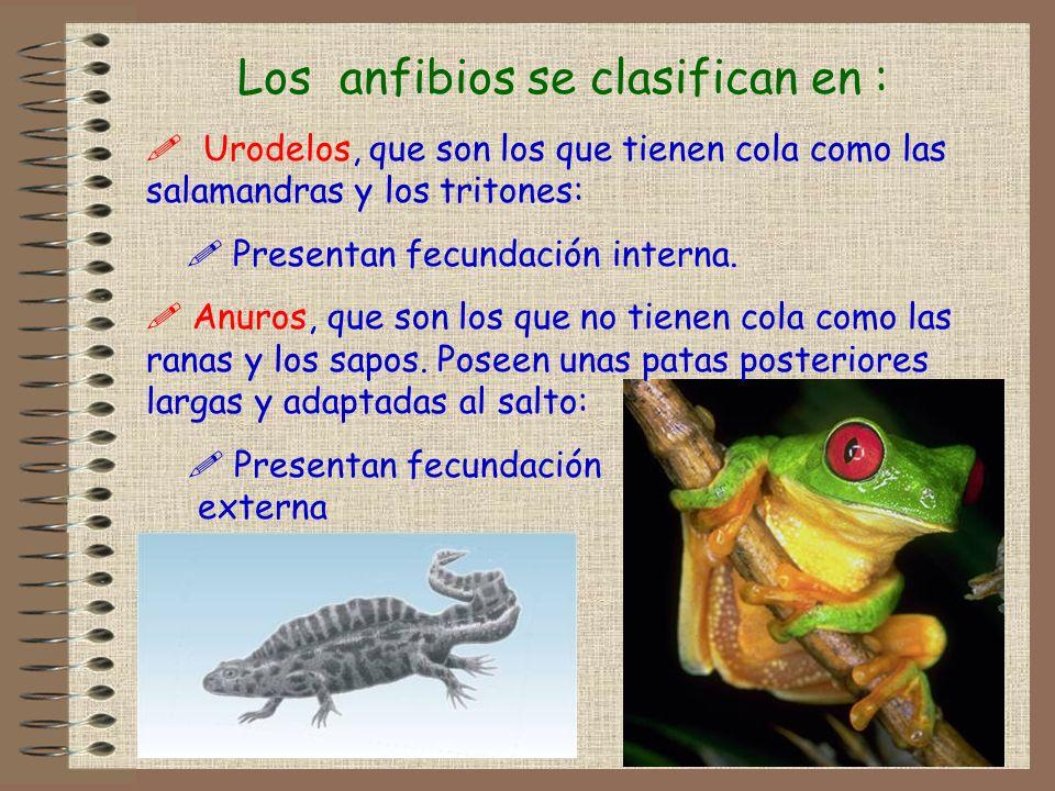 Los anfibios se clasifican en : ! Urodelos, que son los que tienen cola como las salamandras y los tritones: ! Presentan fecundación interna. ! Anuros
