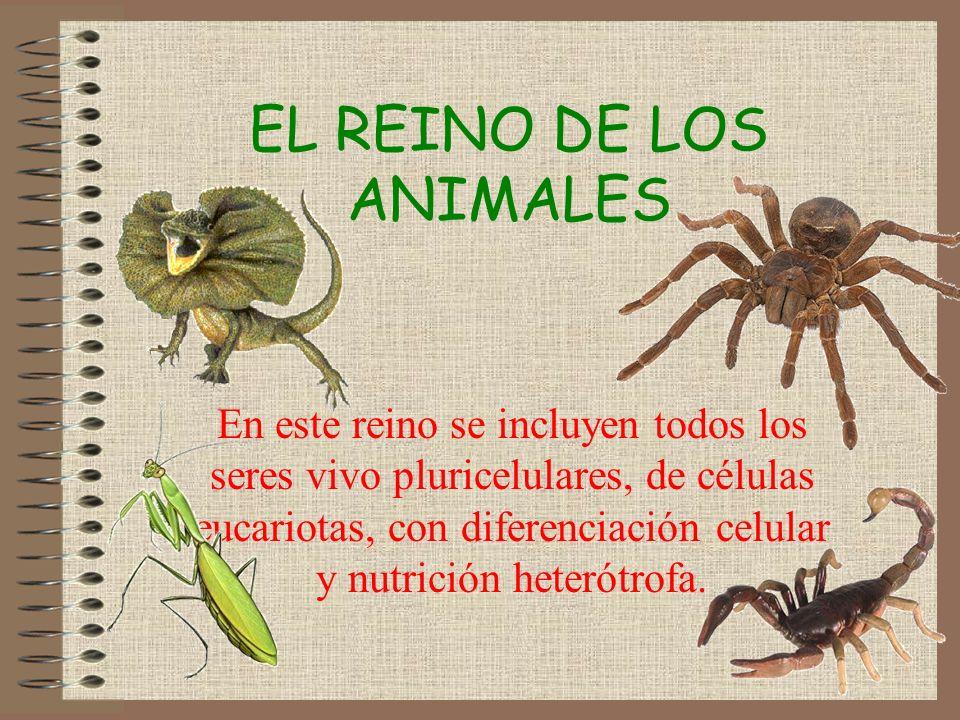 EL REINO DE LOS ANIMALES En este reino se incluyen todos los seres vivo pluricelulares, de células eucariotas, con diferenciación celular y nutrición