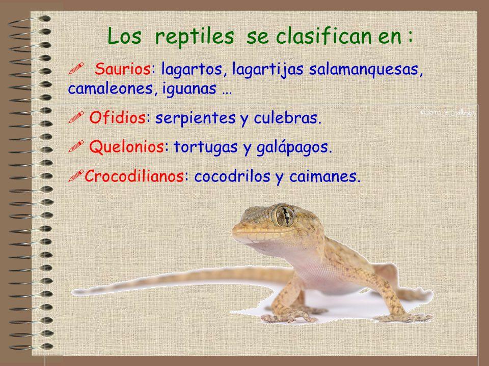 Los reptiles se clasifican en : ! Saurios: lagartos, lagartijas salamanquesas, camaleones, iguanas … ! Ofidios: serpientes y culebras. ! Quelonios: to