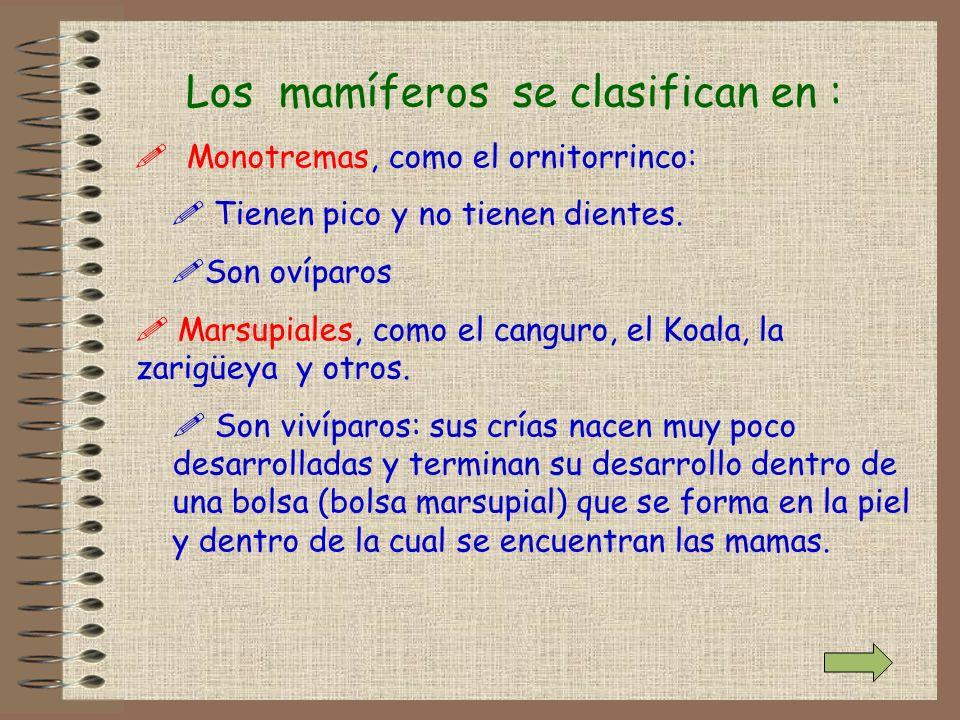 Los mamíferos se clasifican en : ! Monotremas, como el ornitorrinco: ! Tienen pico y no tienen dientes. !Son ovíparos ! Marsupiales, como el canguro,