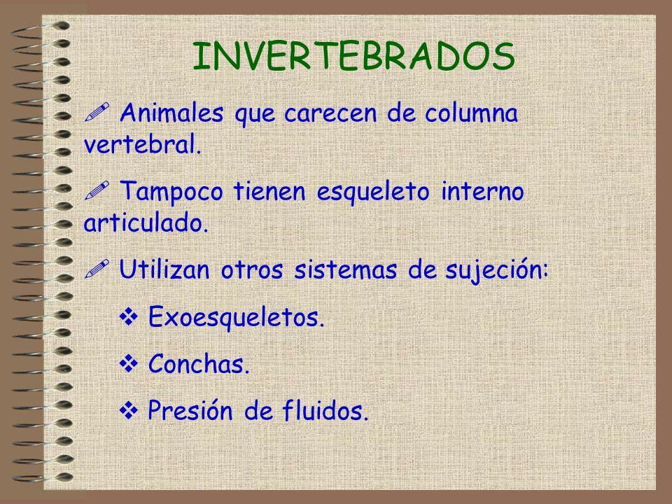 INVERTEBRADOS ! Animales que carecen de columna vertebral. ! Tampoco tienen esqueleto interno articulado. ! Utilizan otros sistemas de sujeción: Exoes