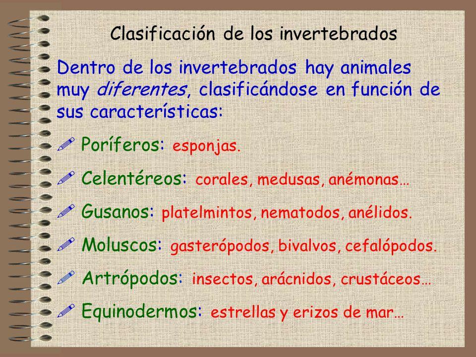 Clasificación de los invertebrados Dentro de los invertebrados hay animales muy diferentes, clasificándose en función de sus características: ! Porífe