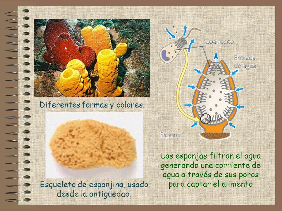 Las esponjas filtran el agua generando una corriente de agua a través de sus poros para captar el alimento ! Diferentes formas y colores. Esqueleto de