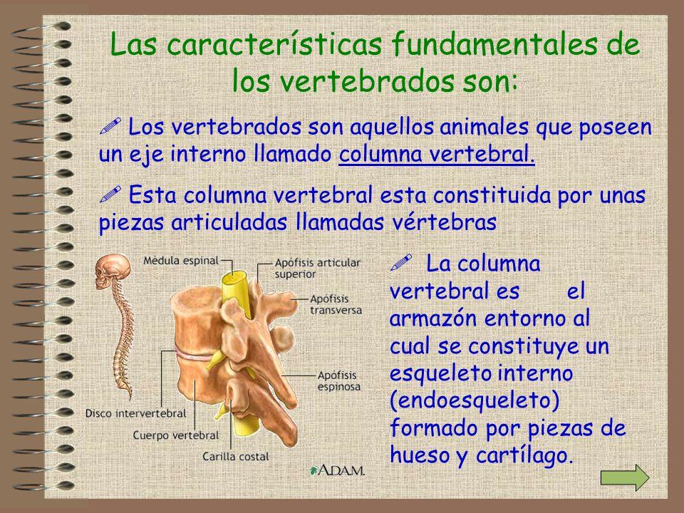 Las características fundamentales de los vertebrados son: ! Los vertebrados son aquellos animales que poseen un eje interno llamado columna vertebral.