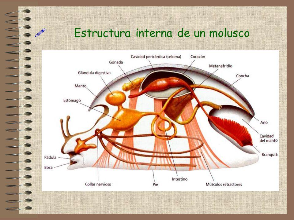 Estructura interna de un molusco!