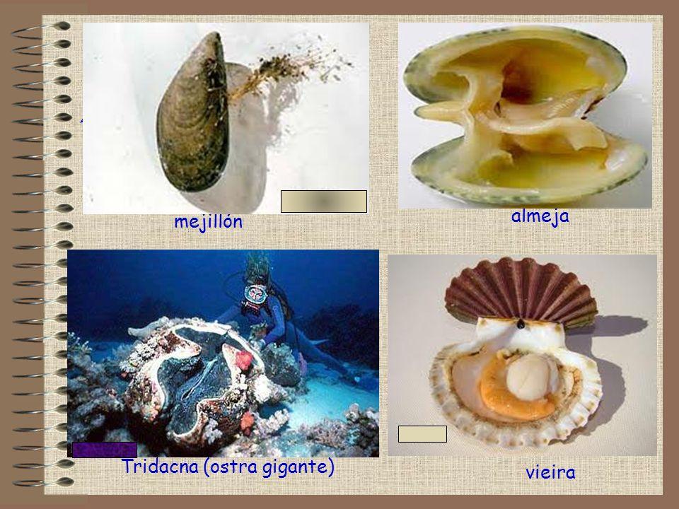 almeja ! vieira mejillón Tridacna (ostra gigante)