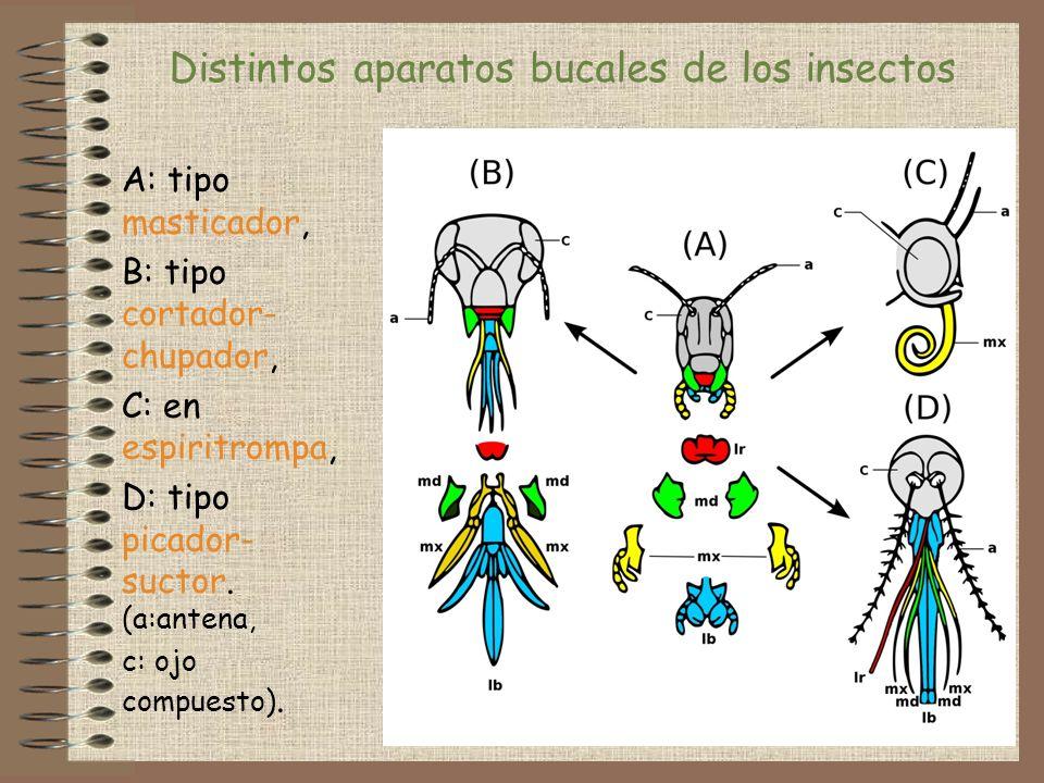 A: tipo masticador, B: tipo cortador- chupador, C: en espiritrompa, D: tipo picador- suctor. (a:antena, c: ojo compuesto). Distintos aparatos bucales