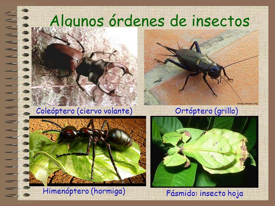 Algunos órdenes de insectos Coleóptero (ciervo volante)Ortóptero (grillo) Fásmido: insecto hoja Himenóptero (hormiga)